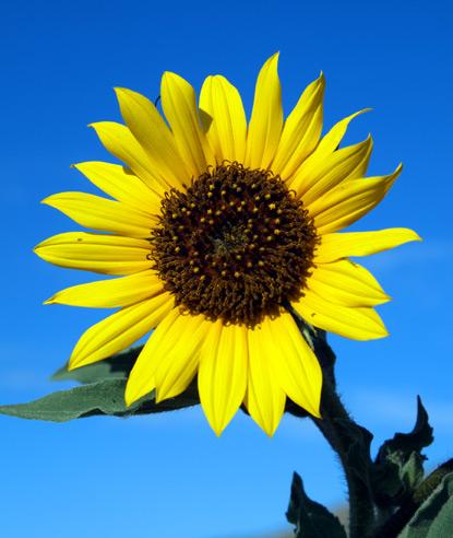 Seed Dispersal Sunflower